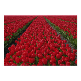 Flower field of tulips, Netherlands, Holland Poster