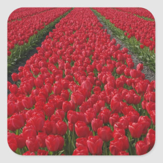 Flower field of tulips, Netherlands, Holland Square Sticker