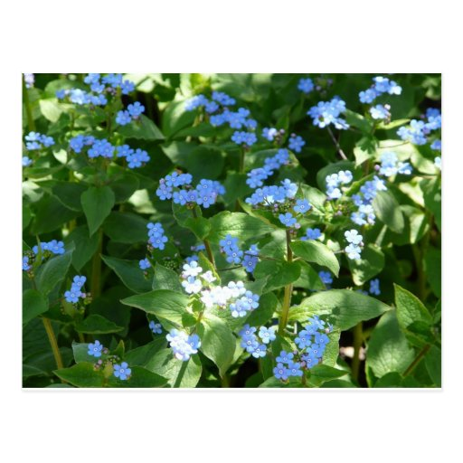 flower,forget-me-not post cards