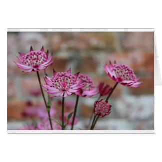 Flower photo Purple Astrantia picture Card