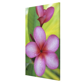 Flower, Plumeria sp.), South Pacific, Niue Canvas Print