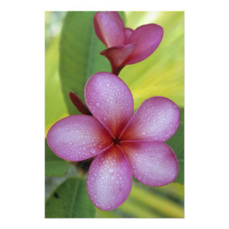 Flower, Plumeria sp.), South Pacific, Niue Photo Print
