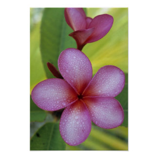 Flower, Plumeria sp.), South Pacific, Niue Poster