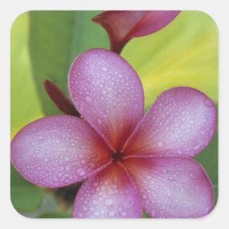Flower Plumeria sp South Pacific Niue Sticker