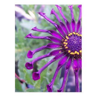 Flower Power Spider Purple Postcard