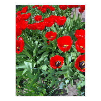 Flowerbed with red tulips postcard