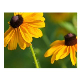 Flowering Black Eyed Susans Postcard