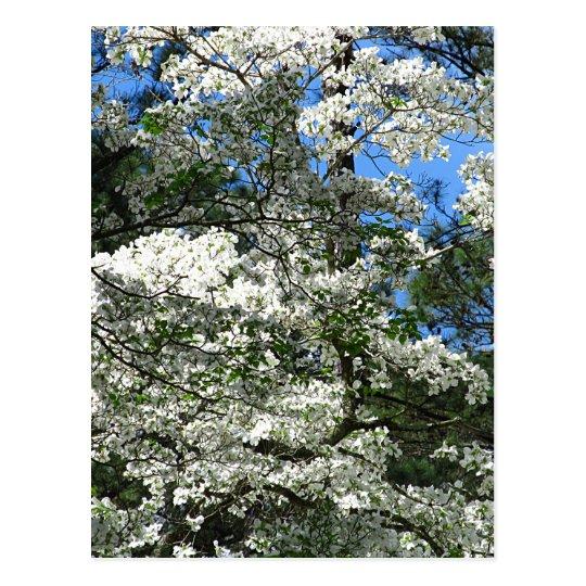 Flowering Dogwood Postcard