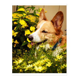 Flowering Pembroke Welsh Corgi Postcard