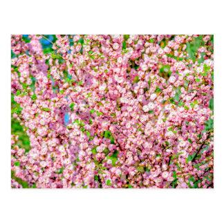 Flowering Plum Postcard