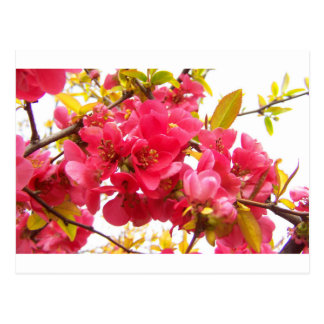 Flowering Quince Japan Pink Spring Flowers Shrub Postcard