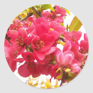 Flowering Quince Japan Pink Spring Flowers Shrub Round Sticker