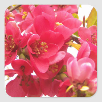 Flowering Quince Japan Pink Spring Flowers Shrub Square Sticker