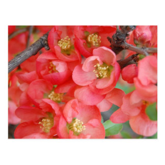 Flowering Quince Postcard