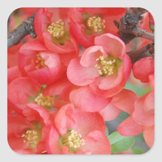Flowering Quince Square Sticker