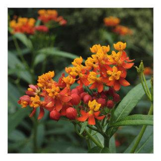 Flowering Tropical Milkweed Photo