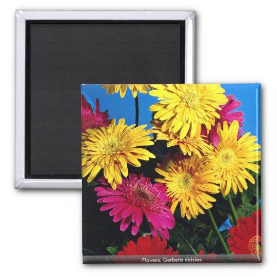 Flowers, Gerbera daisies Square Magnet