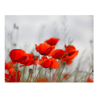 Flowers of common poppy in a field. postcard