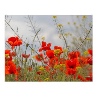 Flowers of common poppy in a field. postcard