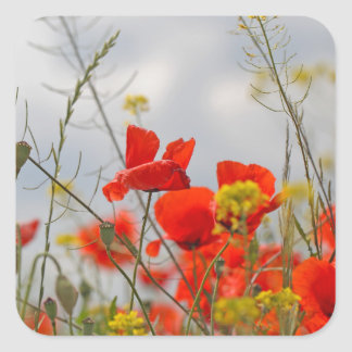 Flowers of common poppy in a field. square sticker