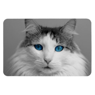 Fluffy Gray and White Blue-Eyed Cat Rectangular Photo Magnet