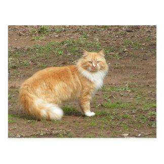 Fluffy Orange and White Kitty Postcard