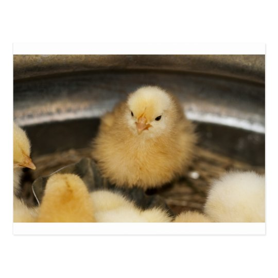Fluffy Yellow Baby Chick Postcard
