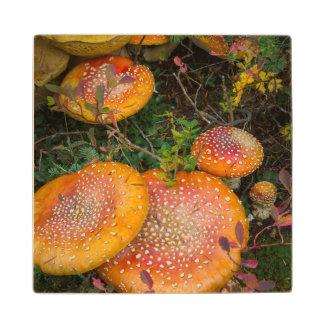 Fly agaric mushrooms at Mowich Lake Wood Coaster