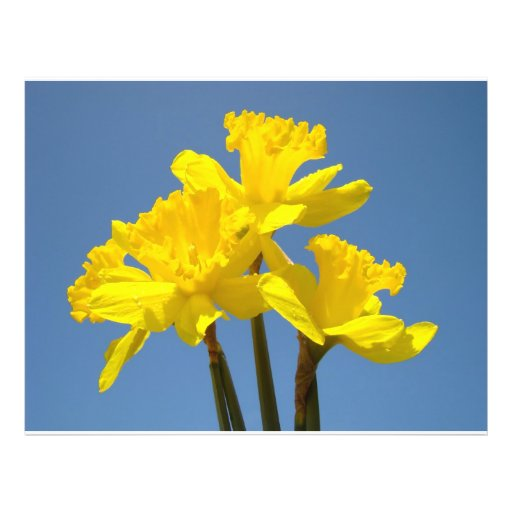 Flyer paper Yellow Daffodil Flowers Blue Sky