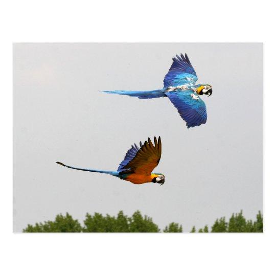 flying ara's postcard