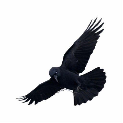FLYING BLACK RAVEN sculpted Magnet Acrylic Cut Outs Zazzle