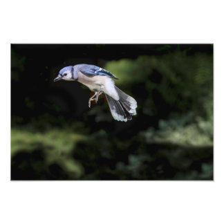 Flying Blue Jay Photographic Print