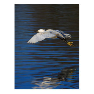 Flying Egret Postcard