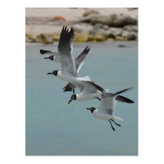 Flying Laughing Gulls Postcard