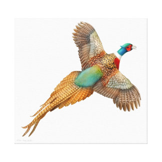 Flying Wild Ringneck Pheasant Wrapped Canvas Gallery Wrap Canvas