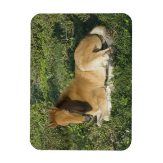 Foal (6) rectangular photo magnet