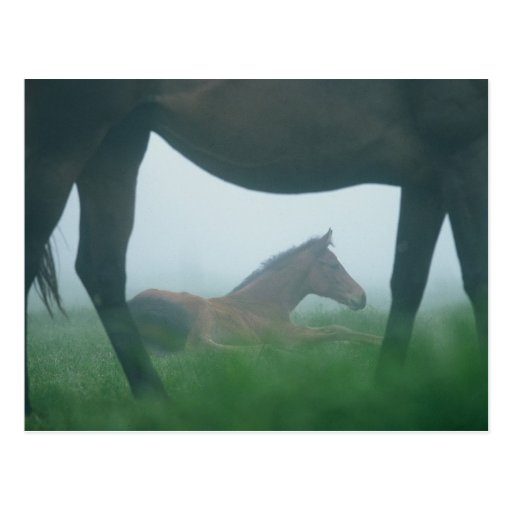 Foal Framed by its Mother Post Card
