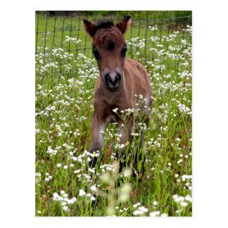 Foal in field post card