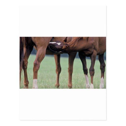 Foal Nursery Postcards