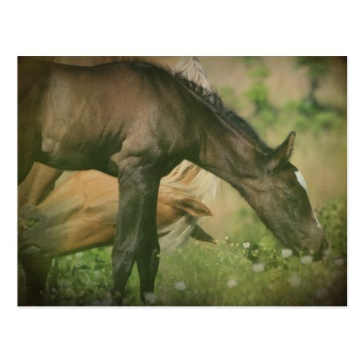 Foal Post Cards