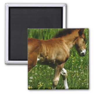 Foal Square Magnet Magnets