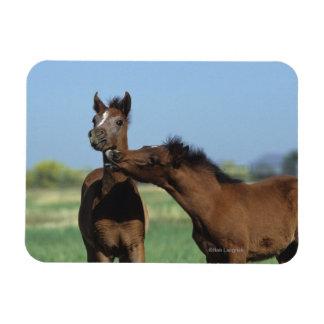Foals Playing 2 Rectangular Photo Magnet