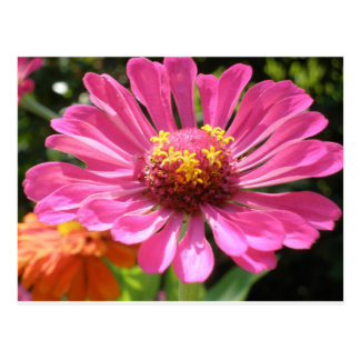 For The LOve of Zinnias Postcard