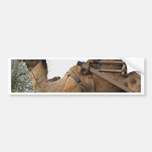 Foraging camel bumper stickers