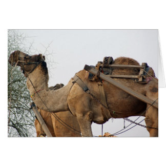 Foraging camel greeting card