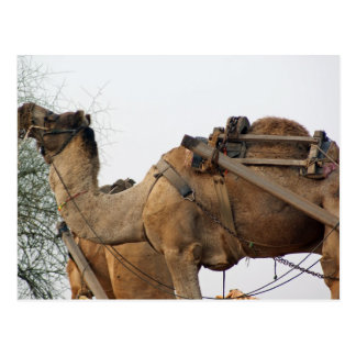 Foraging camel post cards