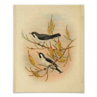 Forbes Flycatcher Bird Black White Vintage Print