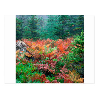 Forest Colorful Ferns In Autumn Acadia Maine Postcard