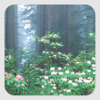 Forest Redwoods Blooming Rhododendrons Square Stickers