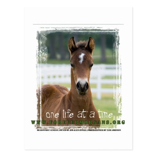 ForeverMorgans One Life at a Time Foal Post Card